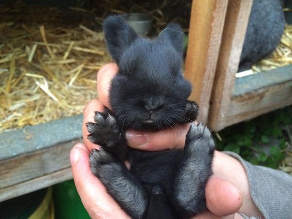 Kaninchen rammelt